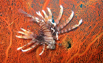 A splendid Lion fish